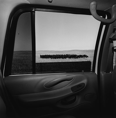 Picture of cows in a field by Lee Friedlander from inside his car