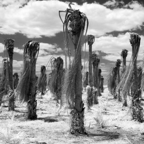 Photographs of dead palm oil trees by Jan Smith